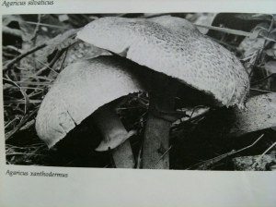 not A. xerodermus